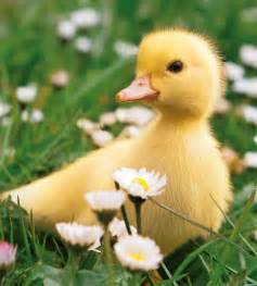 duckling image duckling waddling through the field baby