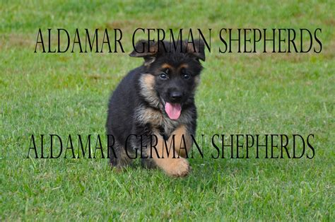 trained german shepherd puppies for sale aldamar german shepherds german shepherd for sale in
