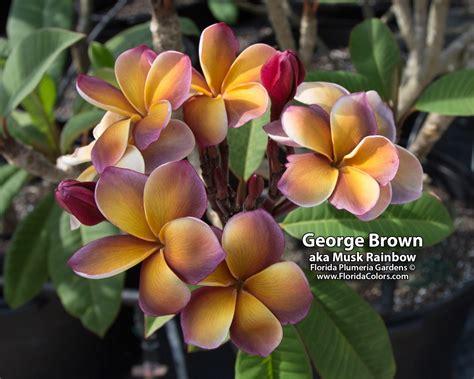 plumeria colors george brown musk rainbow plumeria