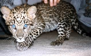 How Many Babies Can A Jaguar File Baby Spotted Leopard Jpg Wikimedia Commons