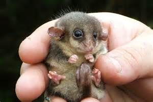 eastern pygmy possum abc news australian broadcasting
