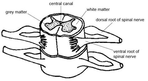 spinal cord boundless anatomy  physiology