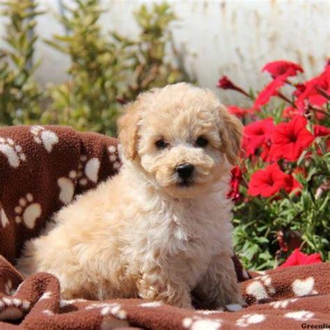 eskipoo puppies hazel eskipoo puppy for sale in pennsylvania