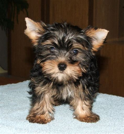 pics of yorkies puppies puppy gallery pictures