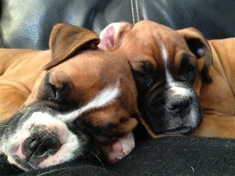 pin  iris guerrero  boxers boxer love boxer dogs