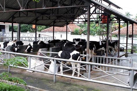 Bokashi Pupuk Kandang Sapi ternak sapi potong kandang sapi
