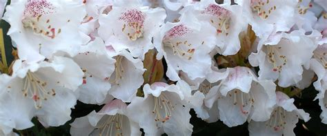 nagaland state flower rhododendron