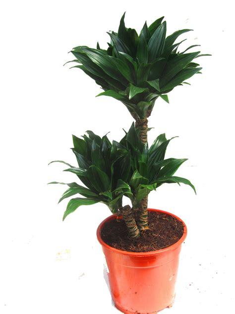 drachenbaum dracaena fragrans dracaene marginata bicolor drachenbaum zimmerpflanzen