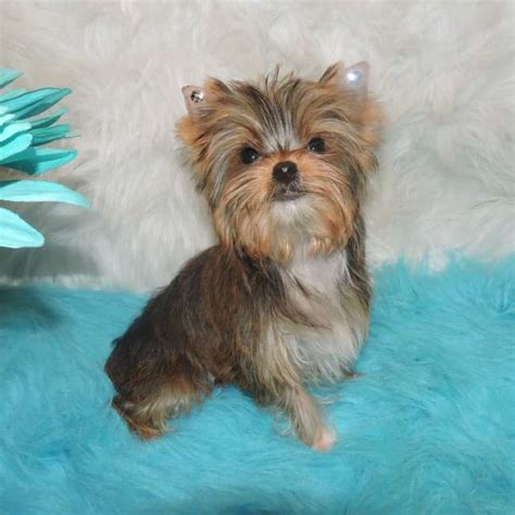 golden yorkies golden yorkie pup for sale judy teacup yorkies sale