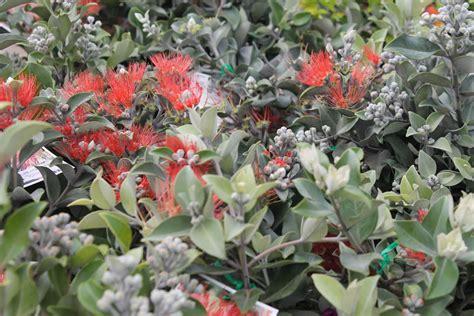 zealand christmas bush plants shrubshedging