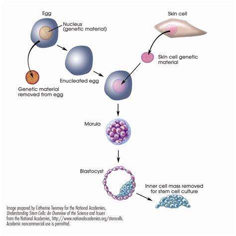stem cells download stem cell figures stem cells