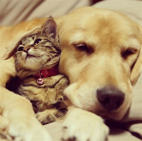 cat and golden retriever tabby cat and golden retriever are best buddies inrumor inrumor