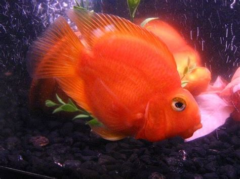 blood parrot fish fish tank ideas pinterest other cichlids and we
