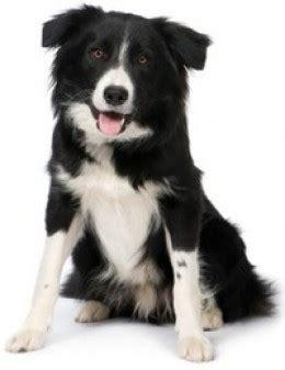smartest breeds top 100 a list of the 100 smartest breeds pethelpful