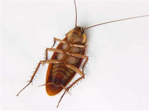 5 effective home remedies for cockroaches