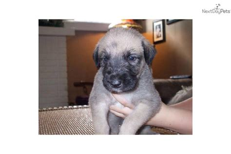 wolfhound puppies for sale ohio wolfhound puppy for sale near dayton springfield ohio f805b169 9a41