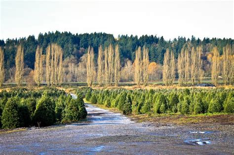 chirstmas tree farm in vancouver wa mcmurtrey s wood tree farm in redmond wa parent reviews photos trekaroo