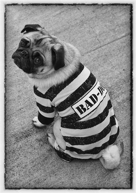 pug checks bad pug pug