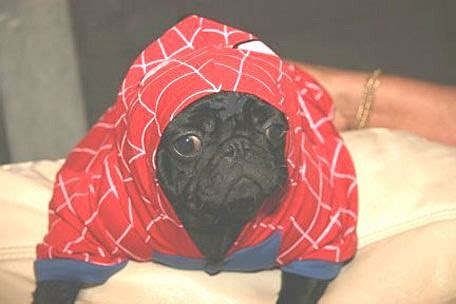 pug superman costume pugs in costumes because you you want to see it