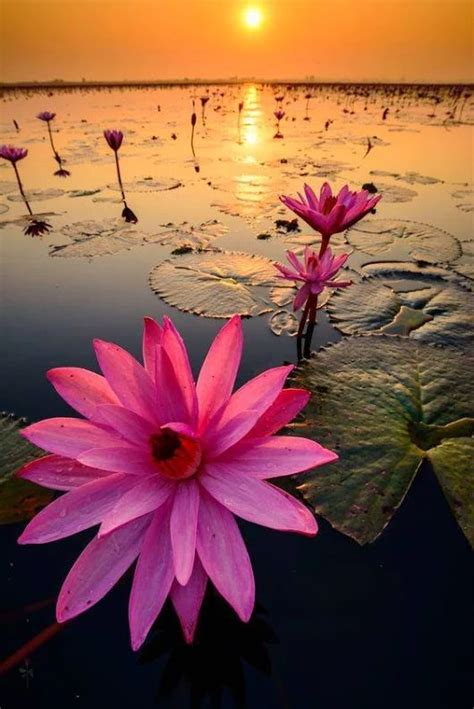 lotus flower best 25 lotus flowers ideas on lotus flower