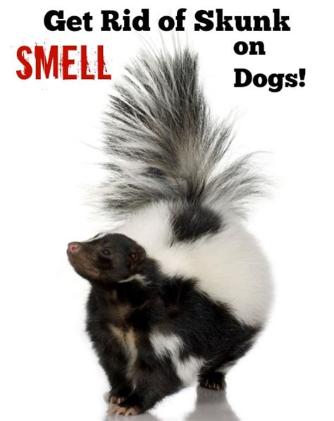 how do you get rid of skunks in your backyard all natural way to get rid of skunk smell on dogs