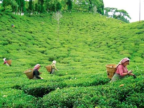 Ta Gardens by Starvation Kills 100 Tea Garden Workers In West Bengal