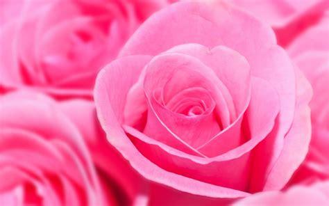 roses wallpapers for desktop rose wallpapers pink rose wallpaper hd hd desktop wallpapers 4k hd