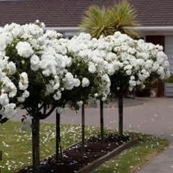 patio roses for sale standard iceberg garden express