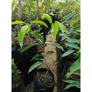 bibit tanaman buah mangga emperor 60cm shopee indonesia