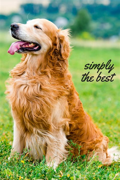 golden retrievers review the golden retriever the happy puppy site