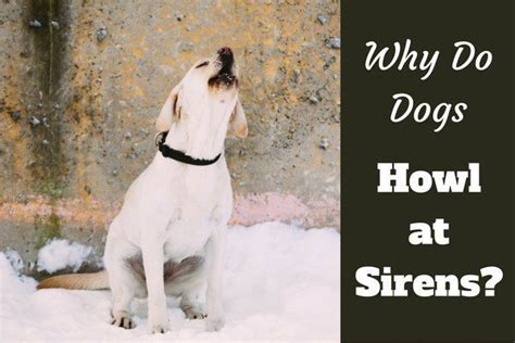 why do dogs howl at sirens why do dogs howl at sirens labrador hq