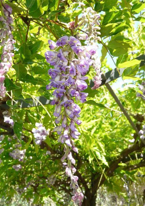 Wisteria L wisteria frutescens l poir american wisteria