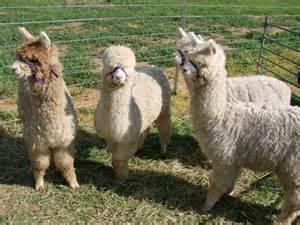 Alpaca Sheep Meme - alpaca sheep meme 100 images the 22 most hilarious