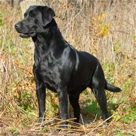 black lab puppies info labrador retriever breed 187 information pictures more