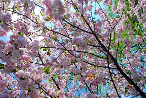 top 28 different types of cherry trees types of ornamental cherry trees hgtv how to grow