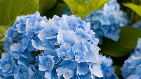 wallpaper blue hydrangea blue hydrangea flower hd wallpaper wallpaperfx