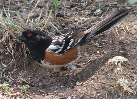 towhee bird nm by david leahy great places and things