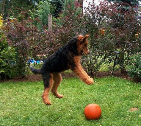 winter airedale haircut 266 best images about airedale terrier or red standard