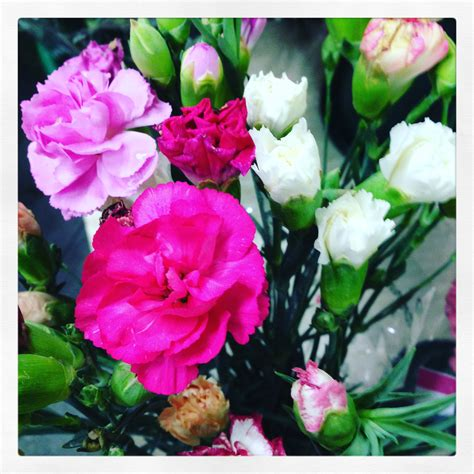 fiori di garofano il garofano