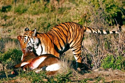 tiger biography in english this essays describes the life of a tiger very detailed