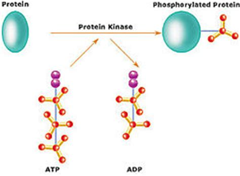 protein kinase a function protein kinase