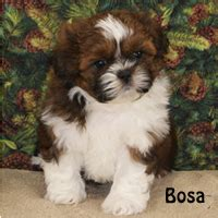 croaking toad shih tzu puppies available