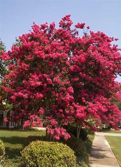 alberi fioriti da giardino gerstroemia