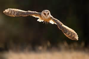 Flying screech owl animals photos
