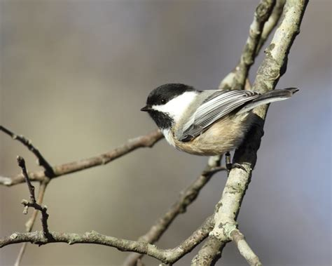 bill hubick photography black capped chickadee poecile