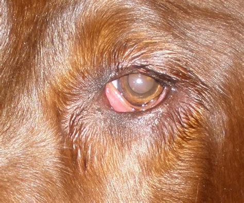 conjunctivitis in dogs treatment pictures of canine conjunctivitis breeds picture
