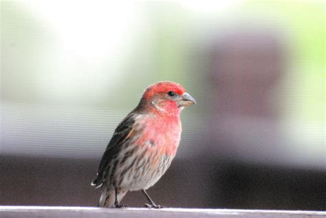 house finch size house finch song 28 images song sparrow house finch