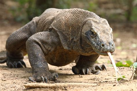 nature  science  alb  sex life   komodo dragon