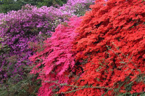 Rhododendron Sonniger Standort by Rhododendron Winterhart Machen 187 So 252 Berwintert Er Am Besten