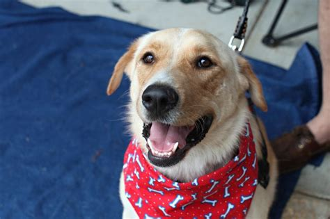 golden retriever rescue boulder colorado best 188 adopt a fur kid images on animals and pets calico cats